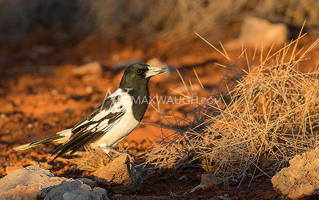 This pied butcherbird was photographed in Cape Range National Park.