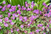 Geranium x cantabridgiense 'Karmina' in flower