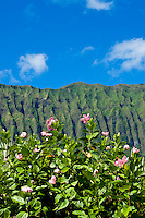 The Koolau Mountains on windward Oahu ascend behind hibiscus flowers.