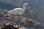 Snowy egret in tidepool