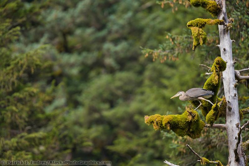 Great Blue Heron perched in a Western Hemlock tree, Prince William Sound, Alaska.