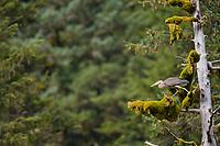 Great Blue Heron perched in a Western Hemlock tree, Prince William Sound, Alaska.