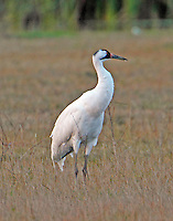 Whooping crane adult