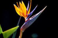 Sunlit bird of paradise flower (strelitzia reginae) with black backround
