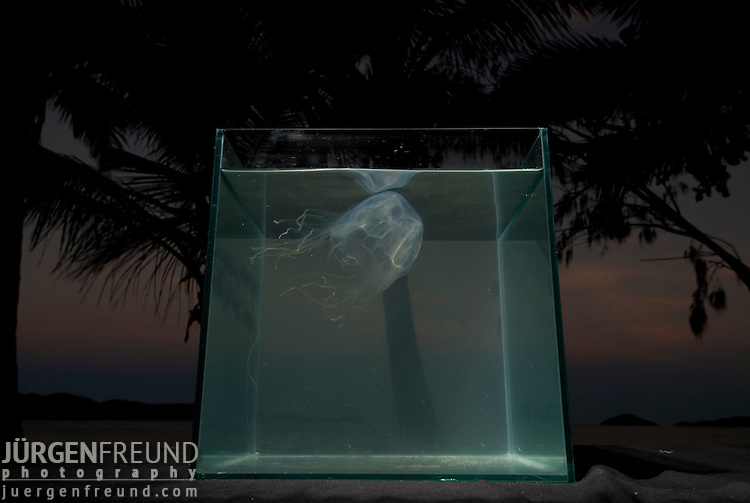 Box Jellyfish in fishtank on beach with palmtrees in background, Chiropsalmus sp.