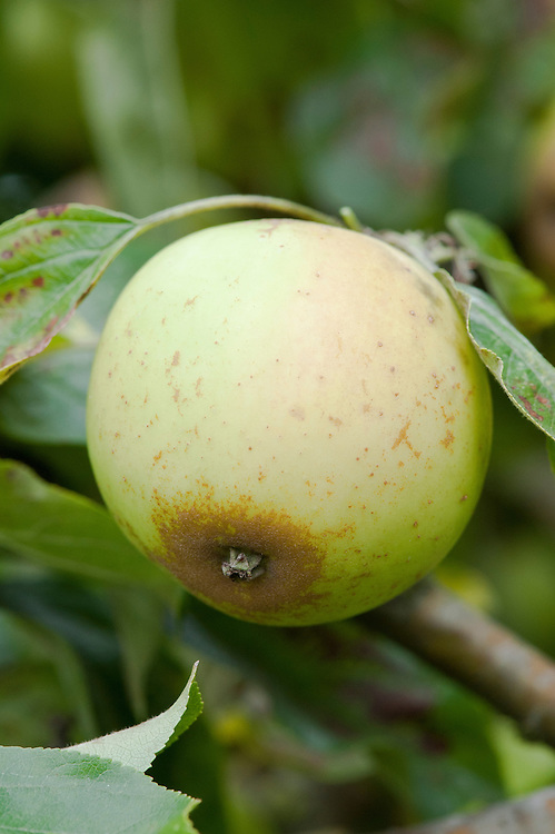 Cider apple 'Brown Snout', early October. Originally bred in Herefordshire in the 19th century. Its name comes from the patch of russet at the opposite end to the stalk.