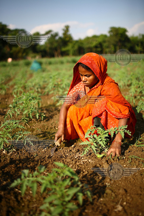 25 year old Rajia Begum weeding her tomato field in Berigao, Sunamganj. She received a microfinance loan from IFAD (International Fund for Agricultural Development)..
