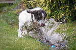© Joel Goodman - 07973 332324 . 28 July 2013 . Rochdale Cricket Club , Bridgefold Road , OL11 5BX , UK . Nice weather for dogs - rain stops play between Rochdale and Clifton CC but Jaffa the six-year-old Springer Spaniel and Rochdale club mascot is loving it as he splashes in the gulley at the boundary . Photo credit : Joel Goodman