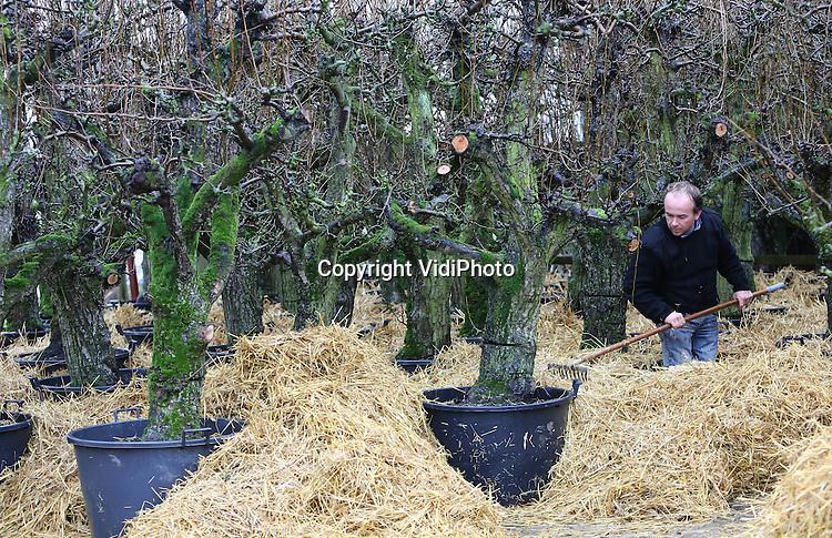 Foto: VidiPhoto..MIDDELBURG - Boom- en handelskwekerij Gerrit Luiten uit Middelburg verwijdert maandag het beschermende stro rond de perenbomen op zijn terrein. De bomen zijn onlangs gerooid bij een fruitteler in de buurt en bij de wortels voorzien van een stro-laag om ze tegen de vorst te beschermen. Oude perenbomen zijn een nieuwe tuintrend en op dit moment nauwelijks aan te slepen. Luiten heeft honderden perenbomen opgekocht van fruittelers in de buurt die hun bedrijf stoppen. Met kluit worden ze in een grote pot gezet en dankzij een speciale bemesting krijgen ze nieuwe wortels, waardoor ze jaarrond geleverd kunnen worden. Tuinliefhebbers kiezen voor oude perenbomen vanwege hun karakteristieke vorm, de bloesem in het voorjaar en vruchten in de herfst. Omdat er geen strenge nachtvorst meer wordt verwacht, kan het stro nu weg.