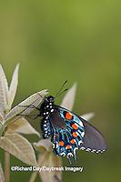 03004-01101 Pipevine Swallowtail (Battus philenor) male in Marion Co., IL