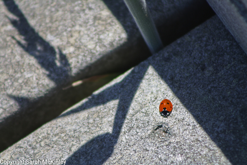 A ladybug on the boardwalk at MacKerricher State Park near Fort Bragg on the Pacific coast of Mendocino County in Northern California.