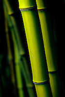Close-up of phyllostachys viridis, bamboo, in Large Quarry Garden, Queen Elizabeth Park, Vancouver, BC.