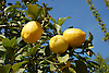 ripe lemons at a lemon tree in a garden of the S&oacute;ller valley, Majorca<br /> <br /> limones maduros en un limonero en la huerta del valle de S&oacute;ller, Mallorca<br /> <br /> reife Zitronen an einem Zitronenbaum in den G&auml;rten des S&oacute;ller-Tals auf Mallorca<br /> <br /> 3008 x 2000 px<br /> 150 dpi: 50,94 x 33,87 cm<br /> 300 dpi: 25,47 x 16,93 cm
