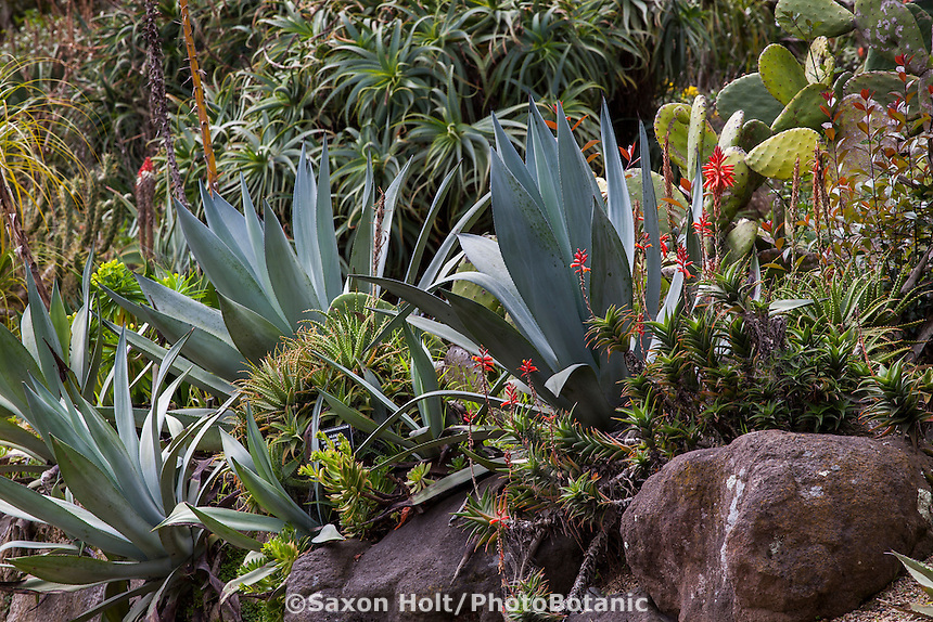 Agave on hillside in the Succulent Garden at San Francisco Botanical Garden