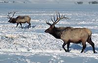 Wintering elk walking through the snow at National Elk Refuge. Wyoming.