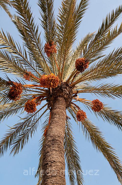 Date palm tree, Alicante, Spain, Europe