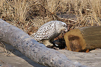 Snowy Owl with Prey, Parker River NWR, Newburyport, MA