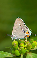 345100004v a wild gray hairstreak strymon melinus perches on a small plant in southeast metropolitan park in austin travis county texas