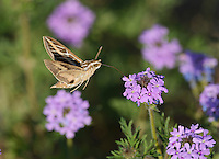 White-lined sphinx (Hyles lineata), adult in flight feeding on Prairie Verbena (Glandularia bipinnatifida) flower, Hill Country, Texas, USA