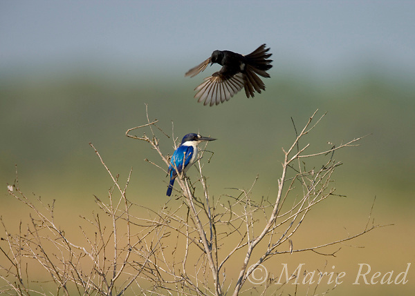 Forest Kingfisher (Todiramphus macleayii) being attacked by Willy Wagtail (Rhipidura leucophrys), Fogg Dam, near Darwin, Northern Territory, Australia