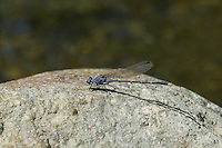 338570022 a wild male sooty dancer argia lugens perches on a rock in piru creek los angeles county california