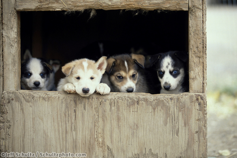 Susan Butcher Puppies In Dog House Alaska