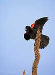 Red-winged Blackbird (Agelaius phoeniceus) male displaying and singing, Montezuma National Wildlife Refuge, New York, USA
