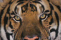 684089337 a captive siberian tiger adult panthera tigris altaicia portrait of the eyes and face species is highly endangered native to the high steppe plateaus of central asia and this is a wildlife rescue animal