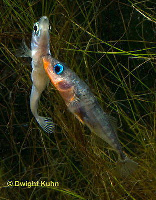 1S47-551z Threespine Stickleback, male courting gravid female with a zigzag dance, she responds with a head-up posture to display her swollen belly, Gasterosteus aculeatus