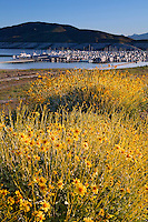 Brittlebush (Encelia farinosa) and the Lake Mead Marina in Boulder Harbor, Lake Mead Recreation Area, Nevada
