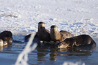 Otter - River - Winter