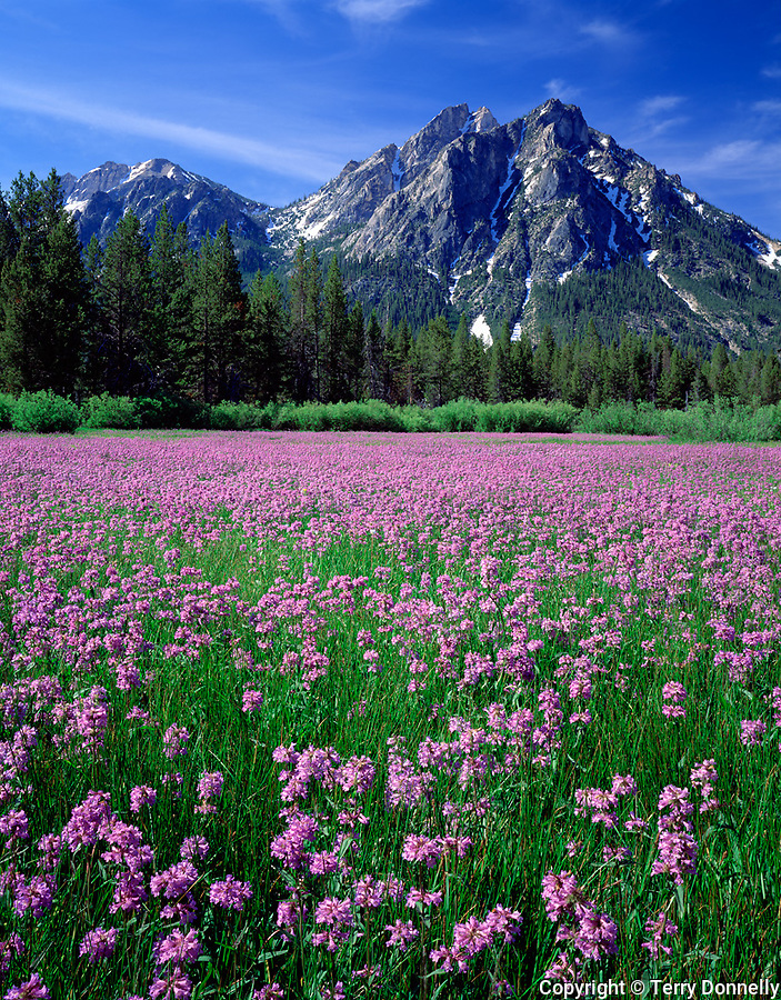 Sawtooth NRA, Idaho  <br /> Meadow of Rydberg's penstemon (Penstemon rydbergii) beneath the peaks of Mt. McGown
