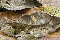 Lizard; Enyalioides touzeti; new species described 2008; Buenaventura Reserve; Ecuador, Prov. El Oro