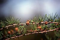 PINECONES<br /> Larch Pinecone<br /> Pinaceae, Larix Laricina<br /> Acadia National Park