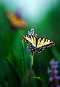 Butterfly-- Eastern Tiger Swallowtail ,Papilio glaucus, found throughout the Eastern United States as far north as Vermont.