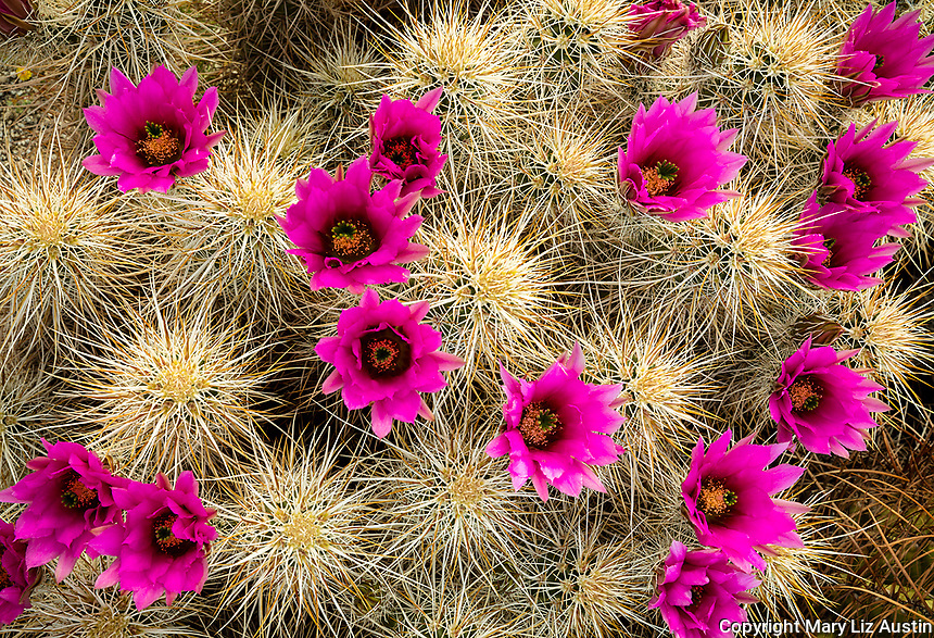 Anza-Borrego Desert State Park: Magenta blossoms on hedgehog cactus (Engelmann's cactus)