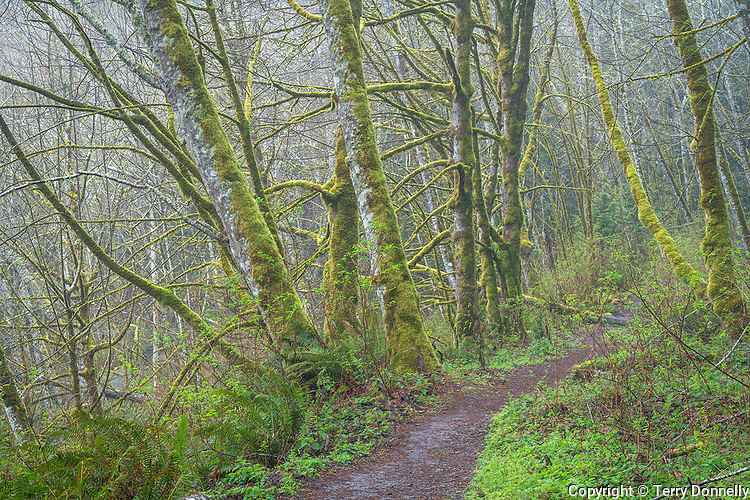 Vashon Island, Washington:<br /> Mossy alder forest in fog, early spring, Shinglemill Creek natural area