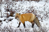 01871-02808 Red Fox (Vulpes vulpes) in snow in winter, Churchill Wildlife Management Area, Churchill, MB Canada