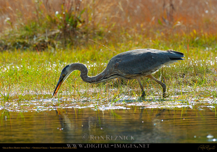 Great Blue Heron with Prey, Obsidian Creek, Yellowstone National Park, Wyoming