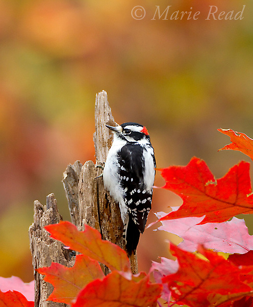 Downy Woodpecker (Picoides pubescens) male in autumn, New York, USA