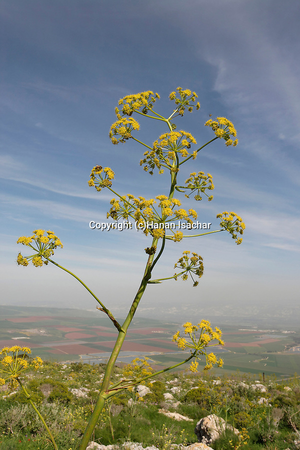 Israel, Giant Fennel (Ferula Communis) on Mount Gilboa