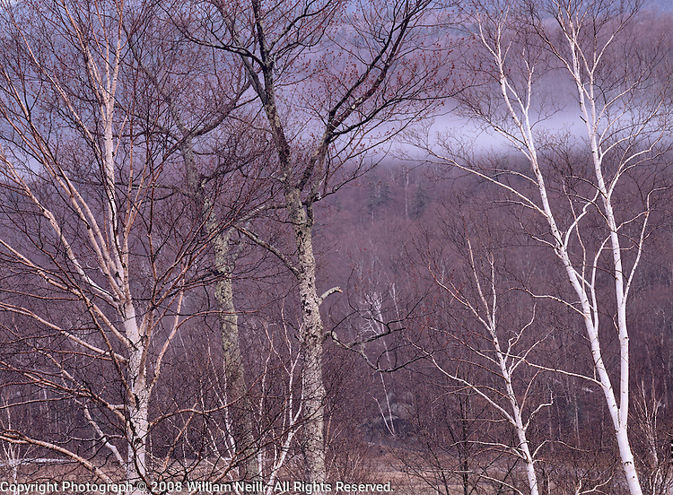 Birches and mist, White Mountains, New Hampshire