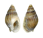 Netted Dog Whelk - Hinia reticulata