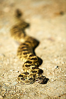 Rattle snake broadened out getting warm. Charrizo Plain National Monument, California