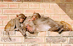 "Varanasi, India. Friday 16 March.A family of Monkeys still dozing in the early morning in Varanasi, one of the holiest cities in India is situated on the western bank of the Ganges River and attracts Hindu pilgrims from across the Globe who come to the Varanasi ghats (steps) to bathe in the waters of Ma Ganga..  Alongside the bathing ghats are also ""burning ghats"" where bodies are cremated in public, the ashes then given to the waters..     The Ganges river is 1557 miles long and stretches from the Himalayas to the Indian Port of Calcutta, supplying water to one twelth of the worlds population. ."