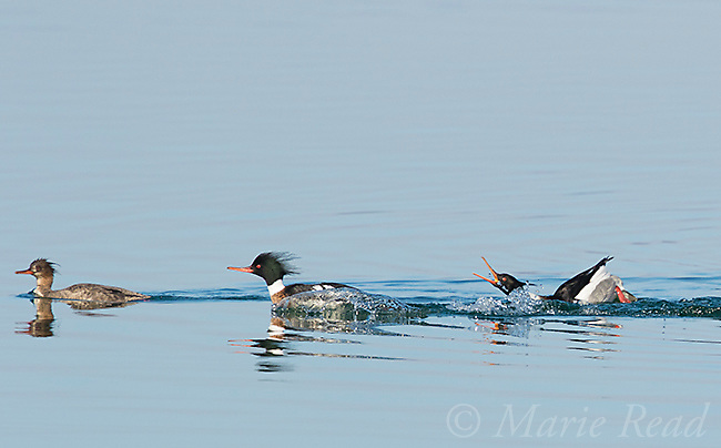 """Red-breasted Mergansers (Mergus serrator), two males and female, rightmost male performing courtship display (""""Salute-Curtsy""""), Aurora, New York, USA"""