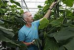 Foto: VidiPhoto<br /> <br /> OOSTERHOUT – Komkommerkweker Albert Kosdi en zijn kwekerij in het Gelderse Oosterhout. Het gaat op dit moment slecht in de tomaten- en komkommerteelt. De prijzen zijn enorm laag. Komkommers worden door het koude weer nauwelijks gegeten.