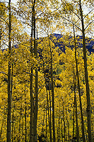 Aspen trees with yellow fall colors in Colorado, USA