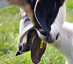 Goats, that are among the inhabitants of Heather Ridge Farm, in Preston Hollow, NY on Saturday, Sept. 7, 2013. Photo by Jim Peppler. Copyright Jim Peppler 2013 all rights reserved.