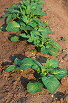 AF5CPC Young potato crop in ridges in a field Suffolk England
